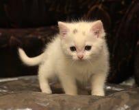 Kleines weißes Kätzchen Lizenzfreies Stockbild