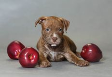 Kleines Welpe American Pit Bull Terrier Lizenzfreies Stockfoto