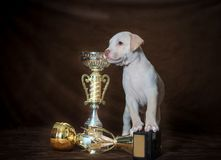Kleines Welpe American Pit Bull Terrier Lizenzfreie Stockfotografie