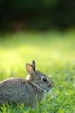 Kleines wildes Kaninchen Lizenzfreies Stockfoto