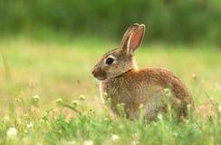 Kleines wildes Kaninchen Stockfotos