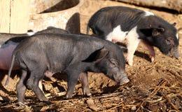 Kleines wildes Schwein Lizenzfreies Stockbild