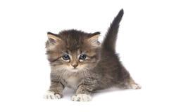 Kleines 4 Wochen-altes Kätzchen auf weißem Hintergrund Lizenzfreies Stockfoto