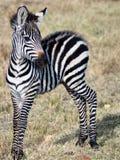 Kleines Zebra, das auf dem Gras steht Lizenzfreie Stockbilder