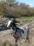 Kleines Ziegenporträt Lizenzfreie Stockfotos