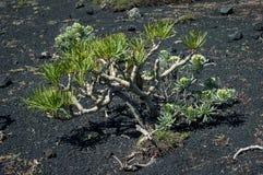 Kleinia neriifolia多汁植物植物 免版税库存图片