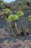 Kleinia neriifolia succulent plant Royalty Free Stock Image