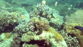 Kleinii van zonnestraal butterflyfish jeugdchaetodon in koraal op Apo-eiland stock videobeelden