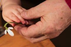 Kleinkindhand gibt großväterlicher Hand eine Blume Stockfotos