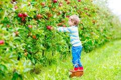 Kleinkindjunge, der rote Äpfel auf Bauernhofherbst auswählt Lizenzfreies Stockbild