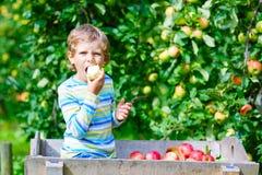 Kleinkindjunge, der rote Äpfel auf Bauernhofherbst auswählt Lizenzfreie Stockfotografie