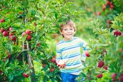 Kleinkindjunge, der rote Äpfel auf Bauernhofherbst auswählt Stockfoto