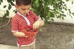 Kleinkindsammelnkirsche vom Baum im Garten 6-jähriger alter nahöstlicher Junge wählt rohe Kirschfrucht aus Familie, die Spaß an d lizenzfreie stockfotos