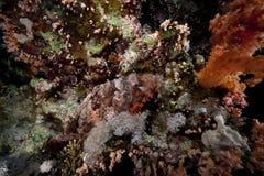 Kleinschalige scorpiofish in het Rode Overzees. stock afbeeldingen