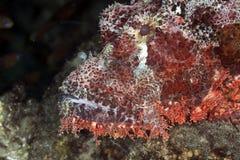 Kleinschalige scorpionfish stock afbeeldingen