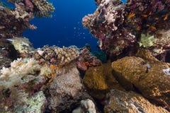 Kleinschalige scorpionfish en tropische ertsader in het Rode Overzees. royalty-vrije stock afbeelding