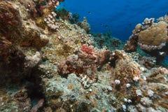Kleinschalige scorpionfish en tropische ertsader in het Rode Overzees. stock afbeeldingen