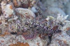 Kleinschalige Scorpionfish in Rode Overzees stock foto