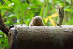 Kleinster Affe des Pygmäenseidenäffchens Lizenzfreie Stockbilder