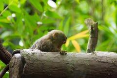 Kleinster Affe des Pygmäenseidenäffchens Stockfotos