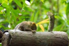 Kleinster Affe des Pygmäenseidenäffchens Stockfotografie