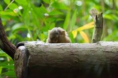 Kleinster Affe des Pygmäenseidenäffchens Stockbilder