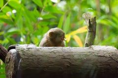 Kleinster Affe des Pygmäenseidenäffchens Lizenzfreies Stockbild
