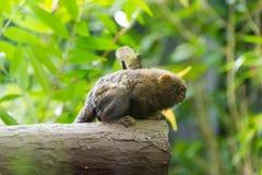 Kleinster Affe des Pygmäenseidenäffchens Lizenzfreie Stockfotografie