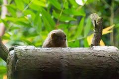 Kleinster Affe des Pygmäenseidenäffchens Stockfoto