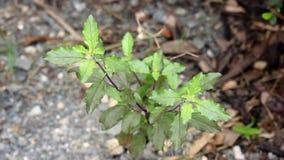Klem van groen blad heilig basilicum stock video