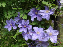 Klematiers blommor för Kamila' lilor Fotografering för Bildbyråer