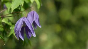 Klematis alpin - purpurrote Blumen Lizenzfreies Stockbild