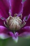 Klematis - Closeup - ståndare Royaltyfria Foton