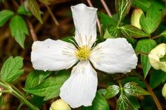 Klematis grandiflora montana Royaltyfria Foton