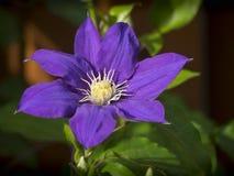 Klematis i blom Arkivbild