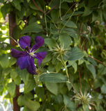 Klematis Jackmanii i blom Royaltyfri Fotografi