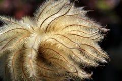 Klematis Seedhead Royaltyfria Bilder