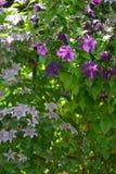 Klematisblumen auf Zaun Stockfotos