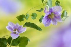 Klematisblumen im Sommer Lizenzfreie Stockfotografie