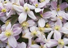 Klematisblumen und -blumenblätter als Hintergrund lizenzfreie stockfotos
