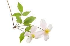 KlematisMontana blommor arkivfoto