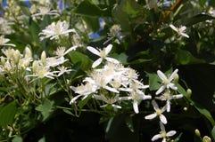 Klematisternfoliaträdgård royaltyfri foto
