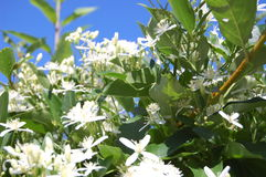 Klematisternfoliaträdgård royaltyfria foton