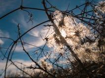 Klematisvitalbaranunculaceas som klättrar busken med förgrena sig arkivfoton