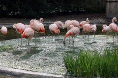 Klepnięcie flamingi preening i sunning fotografia stock