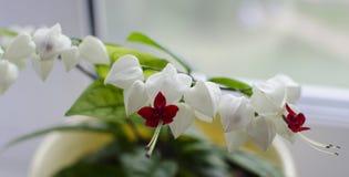 Klerodendrum kwiat Zdjęcie Royalty Free