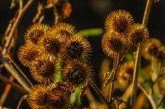 Kletten-Samen-Kopf, Arctium-SP , Fünf Flüsse Klimapark, Delmar, New York, USA stockfoto
