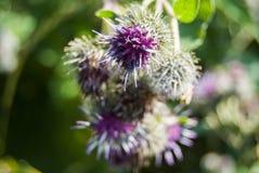 Klettenblume Arctium lappa der lila Farbnahaufnahme Stockfoto