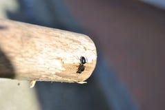 Kletternde Ameise auf hölzernem Stock lizenzfreies stockbild