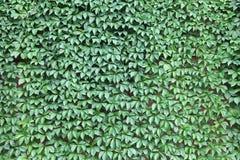 Kletternde Rebe, die eine Wand bedeckt lizenzfreies stockbild